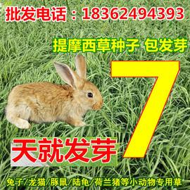 正品提摩西草种子猫尾草兔子豚鼠荷兰猪乌龟高档宠物牧草牧草图片