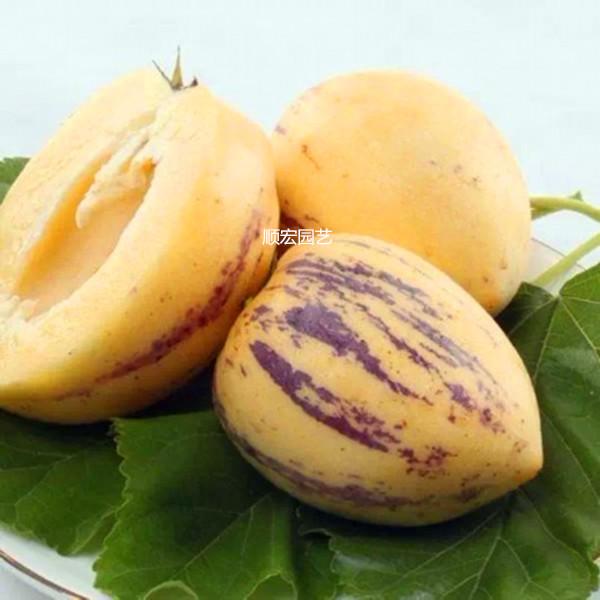 朝鮮人参の果実の南方の正統の四季の結果のナスのウリの人生の果物の苗木の人生の果物の鉢植えは葉土を持って出荷します。