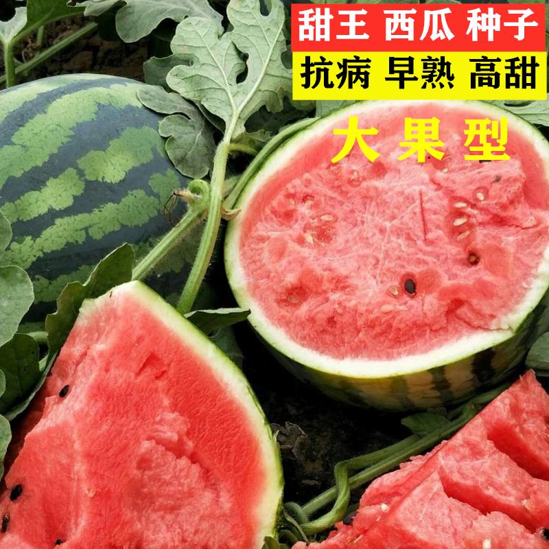 印度甜王西瓜种子超甜特大懒汉高产红瓤大西瓜种籽春季四季水果籽