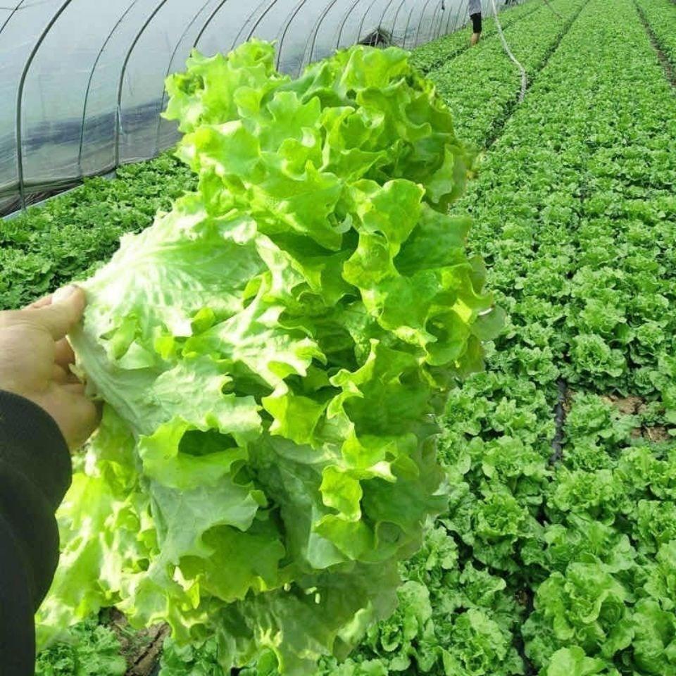 四季播種クリーム【レタスの種】有機栄養高産野菜果物庭テラス鉢植えの生野菜の種