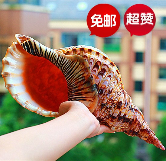 。 One of the four famous conch collecting fish