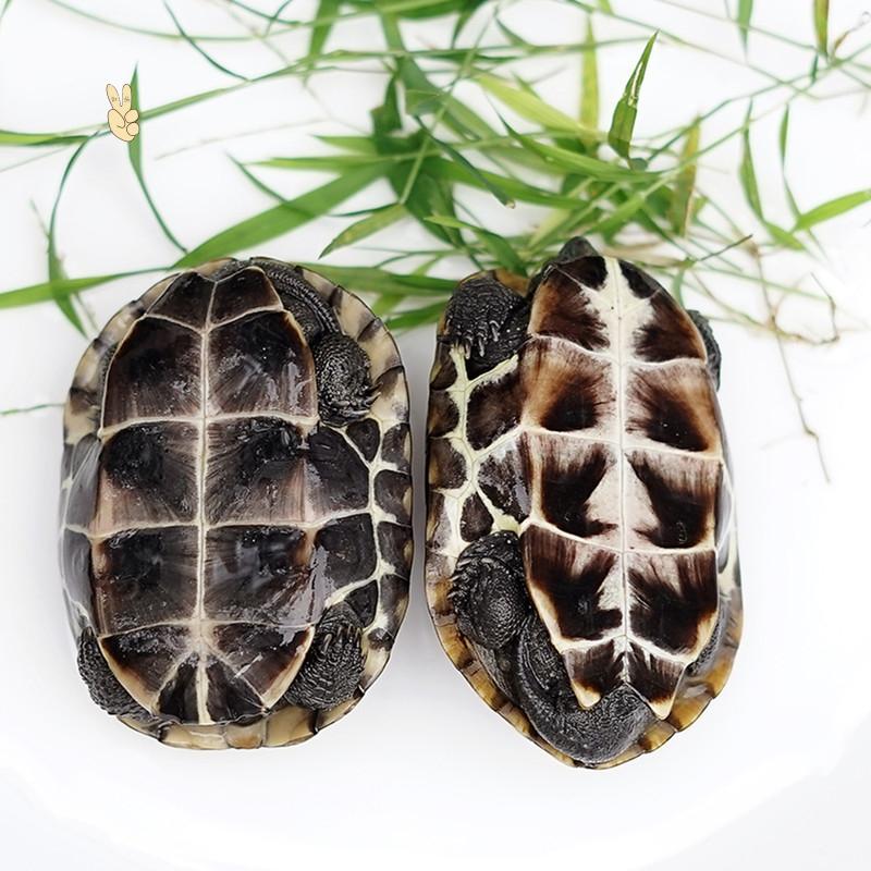 中华草龟一对小乌龟活体长寿龟宠物草龟招财金线墨龟苗观赏活物龟