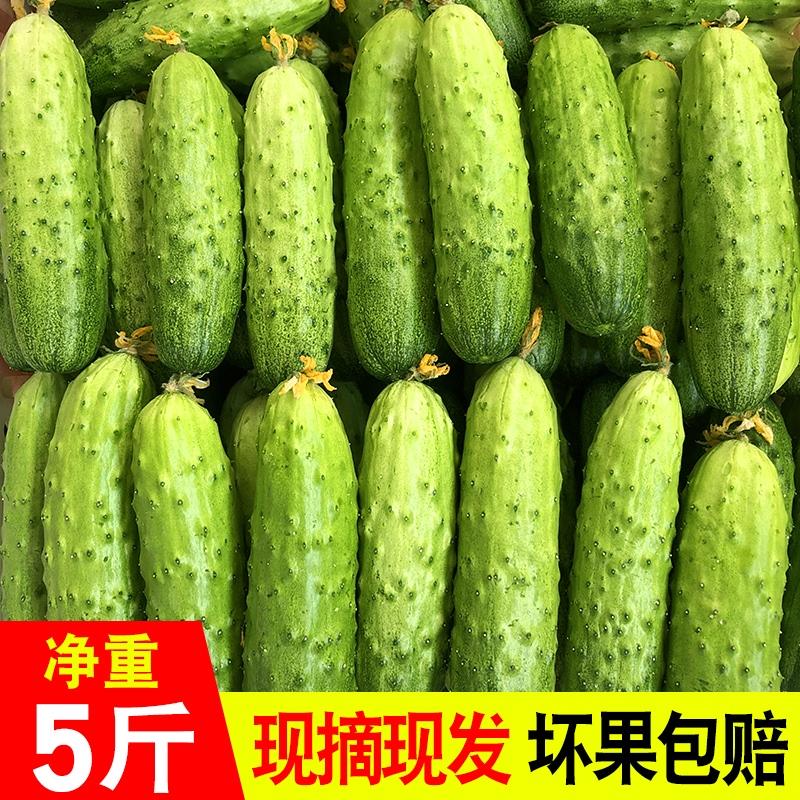 水果小黄瓜新鲜山东旱黄瓜生吃孕妇蔬菜包邮农家当季刺青瓜5斤