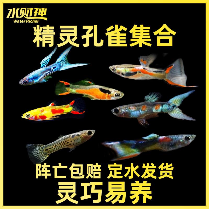 日本蓝双剑精灵日本蓝孔雀孔雀鱼凤尾鱼热带鱼观赏鱼宠物淡水活体