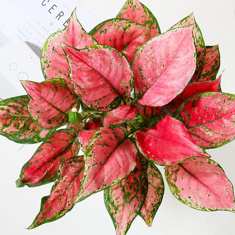 如意皇后花盆栽吉利红万年红火植物室内绿植花卉彩色四季观叶盆景