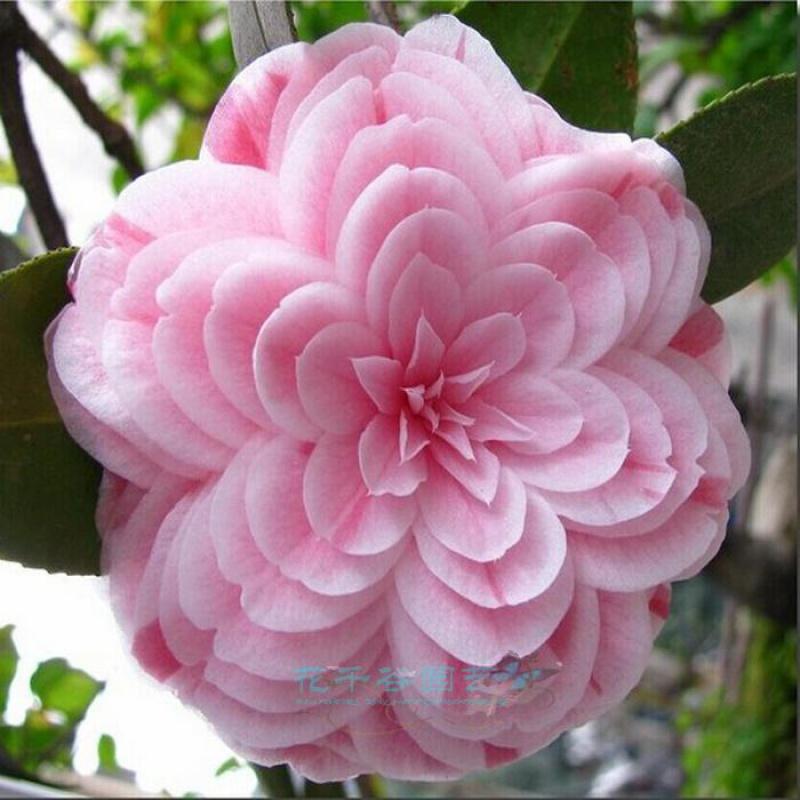 四季开花茶花苗盆栽阳台庭院绿植物耐冻茶花易成活当年开花玫瑰