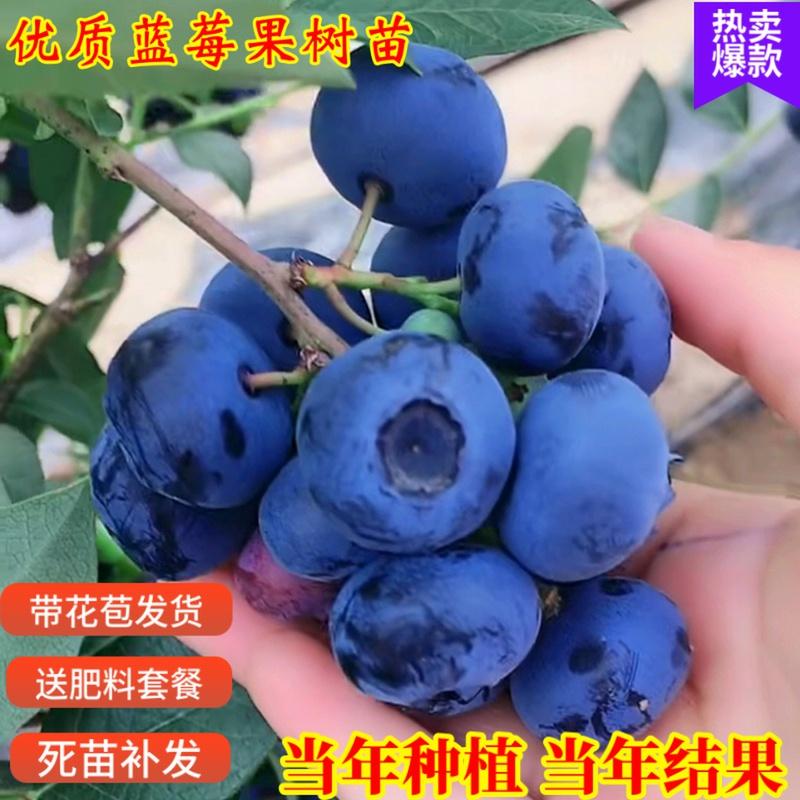 蓝莓树果苗盆栽地栽四季水果树当年结果南方北方种植特大蓝莓树苗
