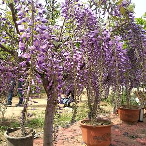 紫藤花苗庭院树木爬藤植物攀爬观花藤蔓树苗现挖鲜花绿植盆栽园艺
