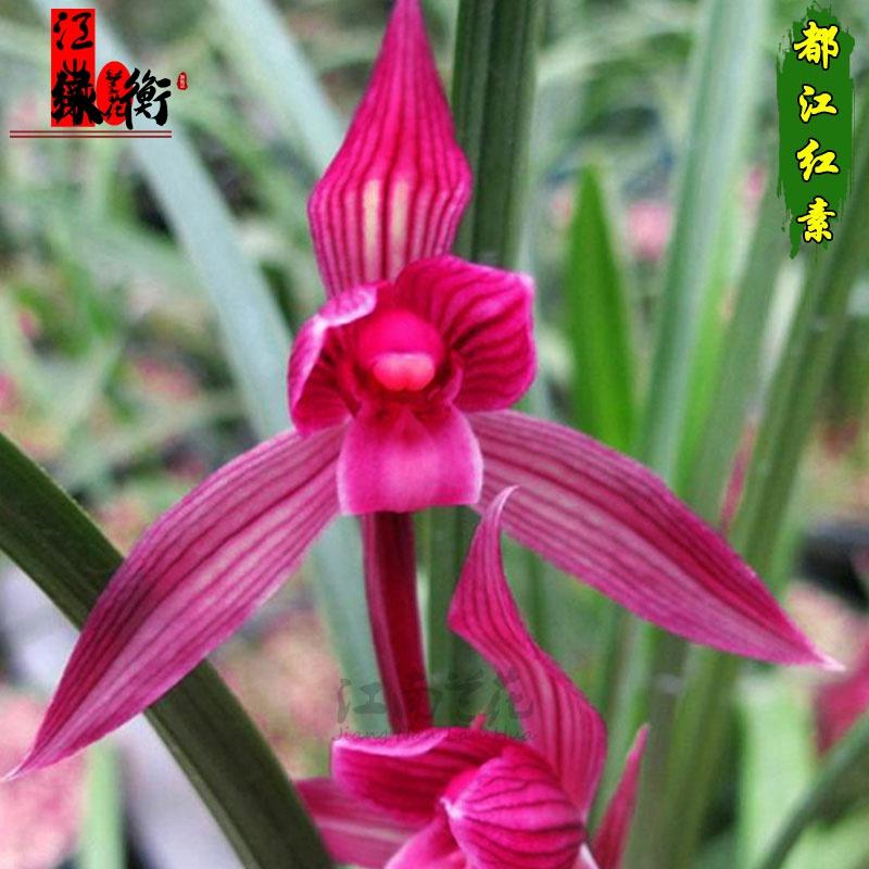 24种兰花苗 特价春兰建兰春剑红素 大红袍冬带花苞出售.