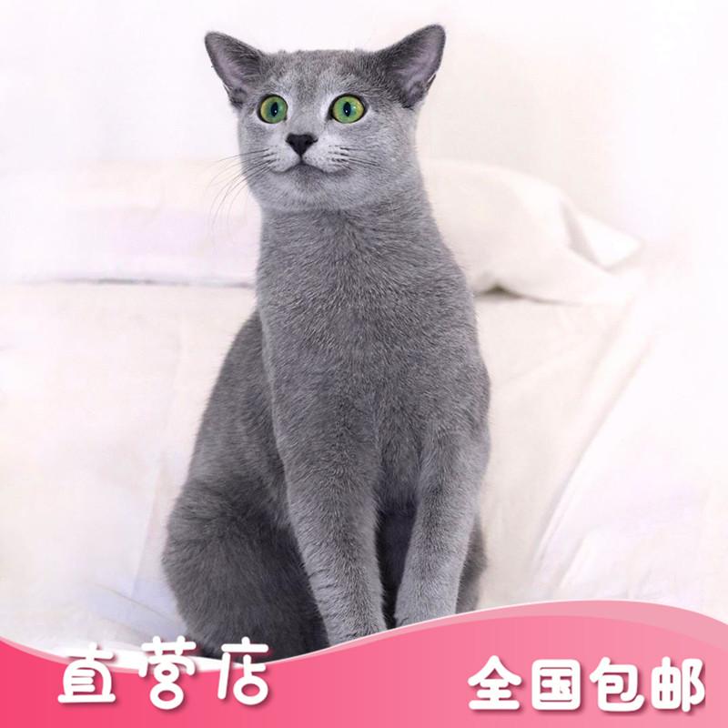 ロシアの青い猫の純血種の幼い猫のペット級試合の個人は家庭を育成してマルタの猫の緑の目の短い毛の貴族を育成します。