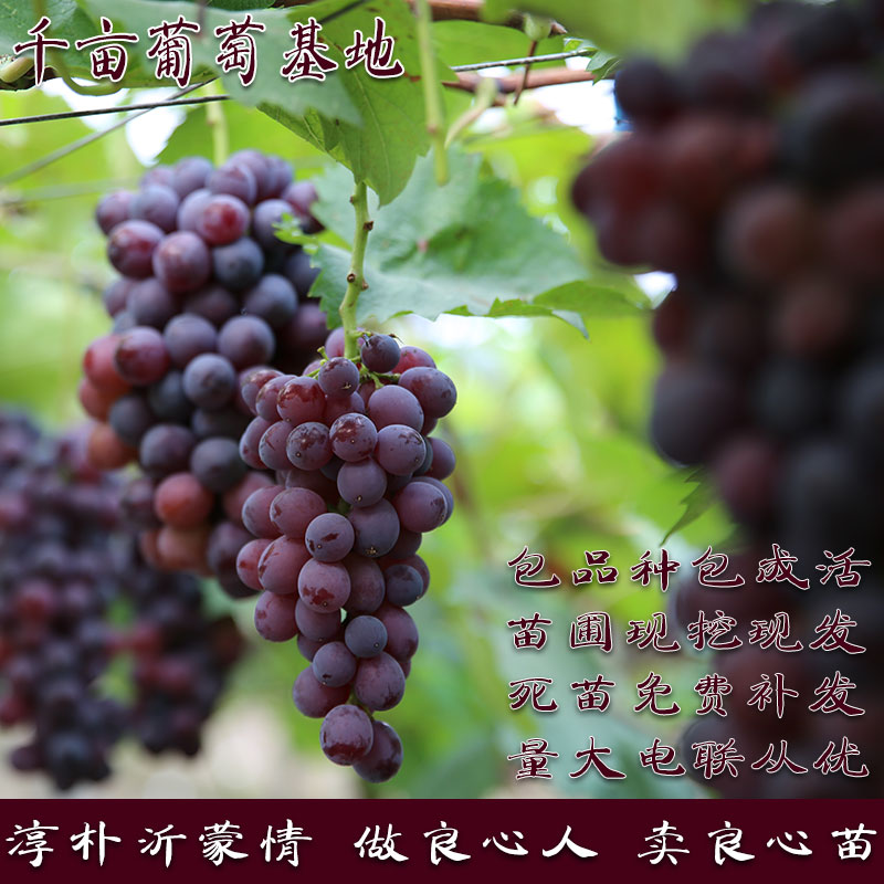新品种爬藤果树苗蓝宝石葡萄苗葡萄树苗爬藤盆栽地载南方北方种植