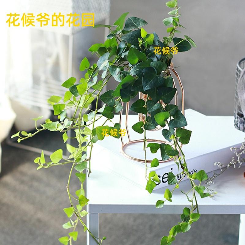水培常春藤绿植室内稀有心叶长藤垂吊植物办公室桌面水养爬藤吊兰