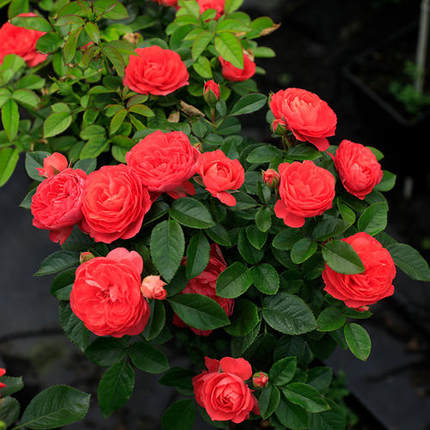 Fragrant French red juice Chanel rose erect shrub seedling potted balcony rose blooming in four seasons