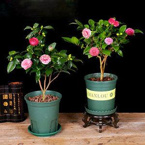 山茶花树苗耐寒盆栽带花苞多色树苗四季开花不断花卉观花植物室内
