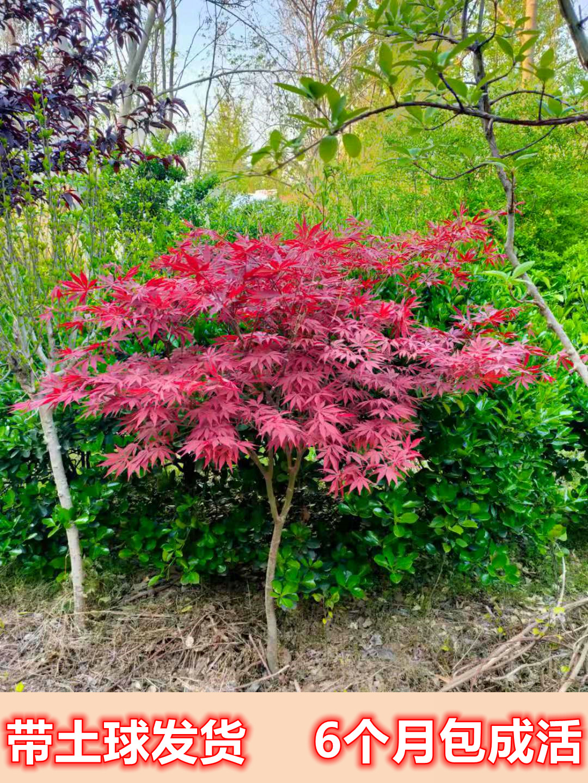 红枫树苗原生三季红中国红枫日本红枫庭院户外耐寒植物适合南北方
