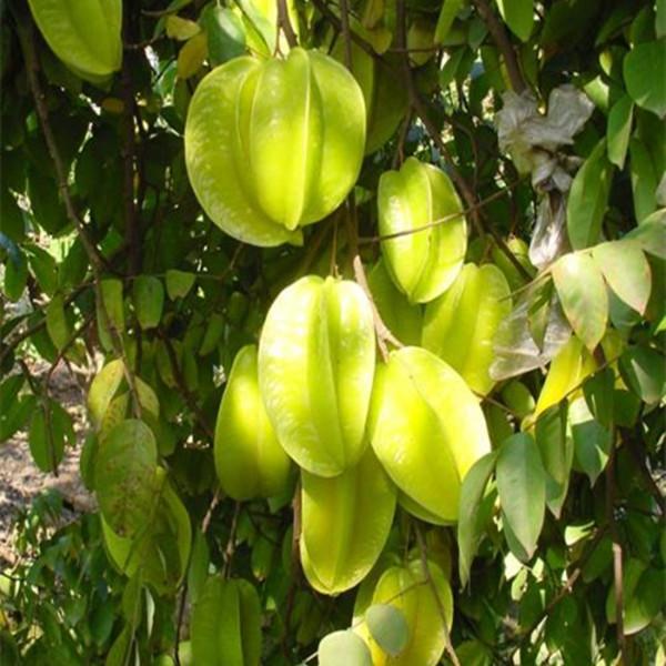 树木果树苗当年结果树苗道杨桃甜台湾嫁接嫁接植物杨桃庭院行