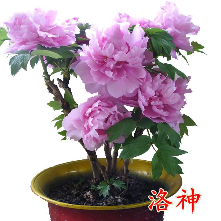 牡丹栀子花苗带花苞盆栽小叶大叶四季好养开花不断重瓣大花浓香型图片