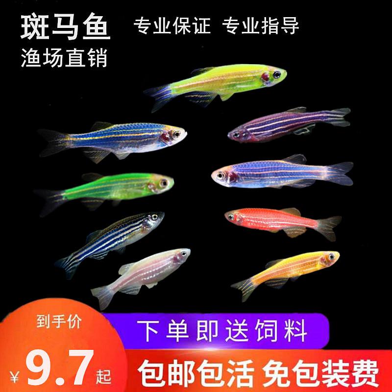 小型热带斑马小鱼苗观赏鱼活体宠物新手鱼淡水好养耐活鱼群游包邮