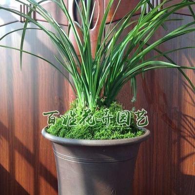 青台草 青苔 鲜活青苔孢子盆景假山造景装饰铺面白发藓