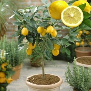盆栽高杆食用香水柠檬四季柠檬树苗