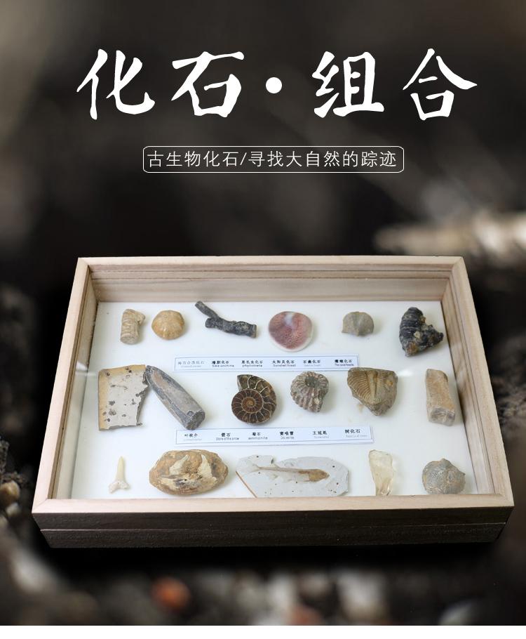 正品天然17种古生物化石标本摆件套盒原石三叶虫狼鳍鱼教学科普礼 Изображение 1