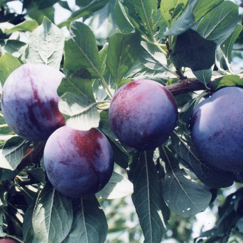 李子树苗 四川脆李嫁接水果苗 黑布林 南北方种植果树苗当年结果