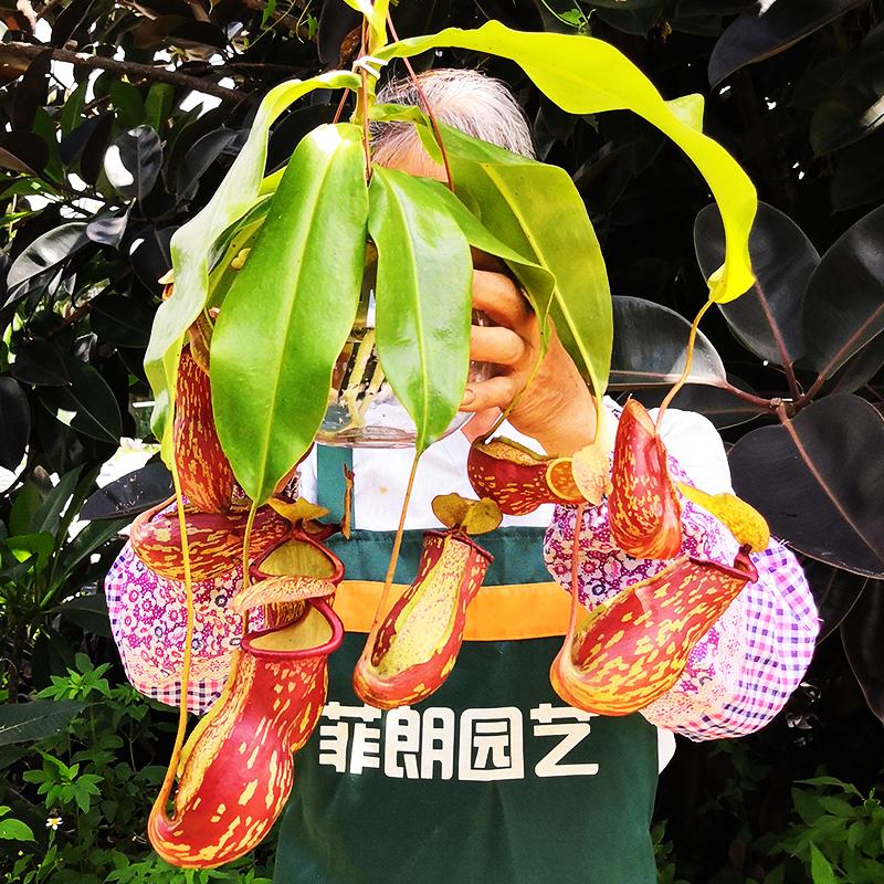 特大吊盖亚肉食虫植物品种多自吸水盆猪笼草珍奇血腥玛丽