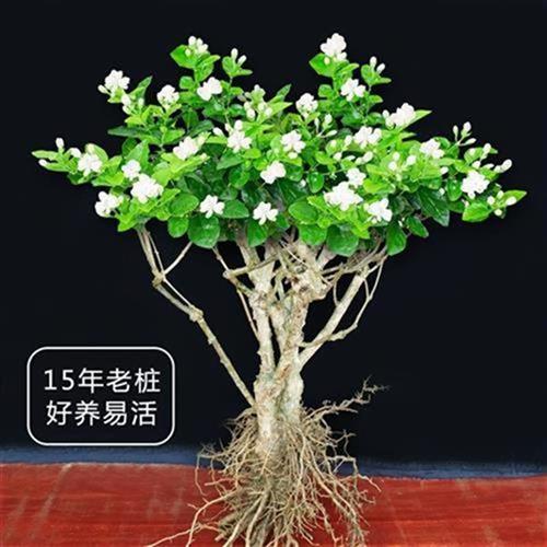 i绿盆内格观花室季o重u瓣阳物四风植栽超值花卉茉莉花植台