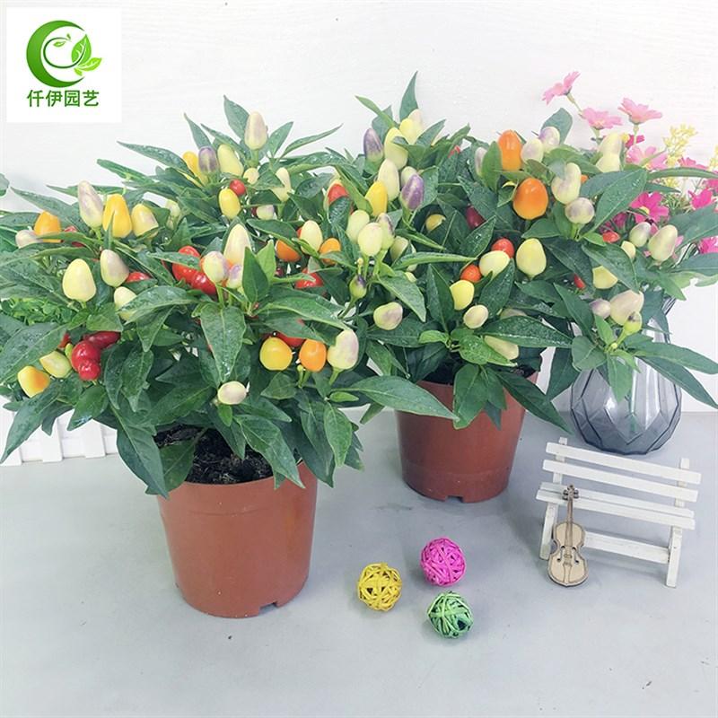 食用することができる山椒の鉢植えは果物の唐辛子の苗があります。
