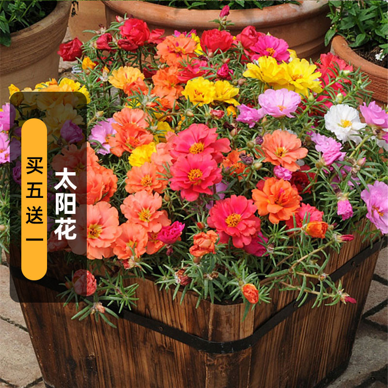Pine leaf peony seeds cant die sunflower seed garden balcony potted plant easy to live spring sowing summer autumn flowering