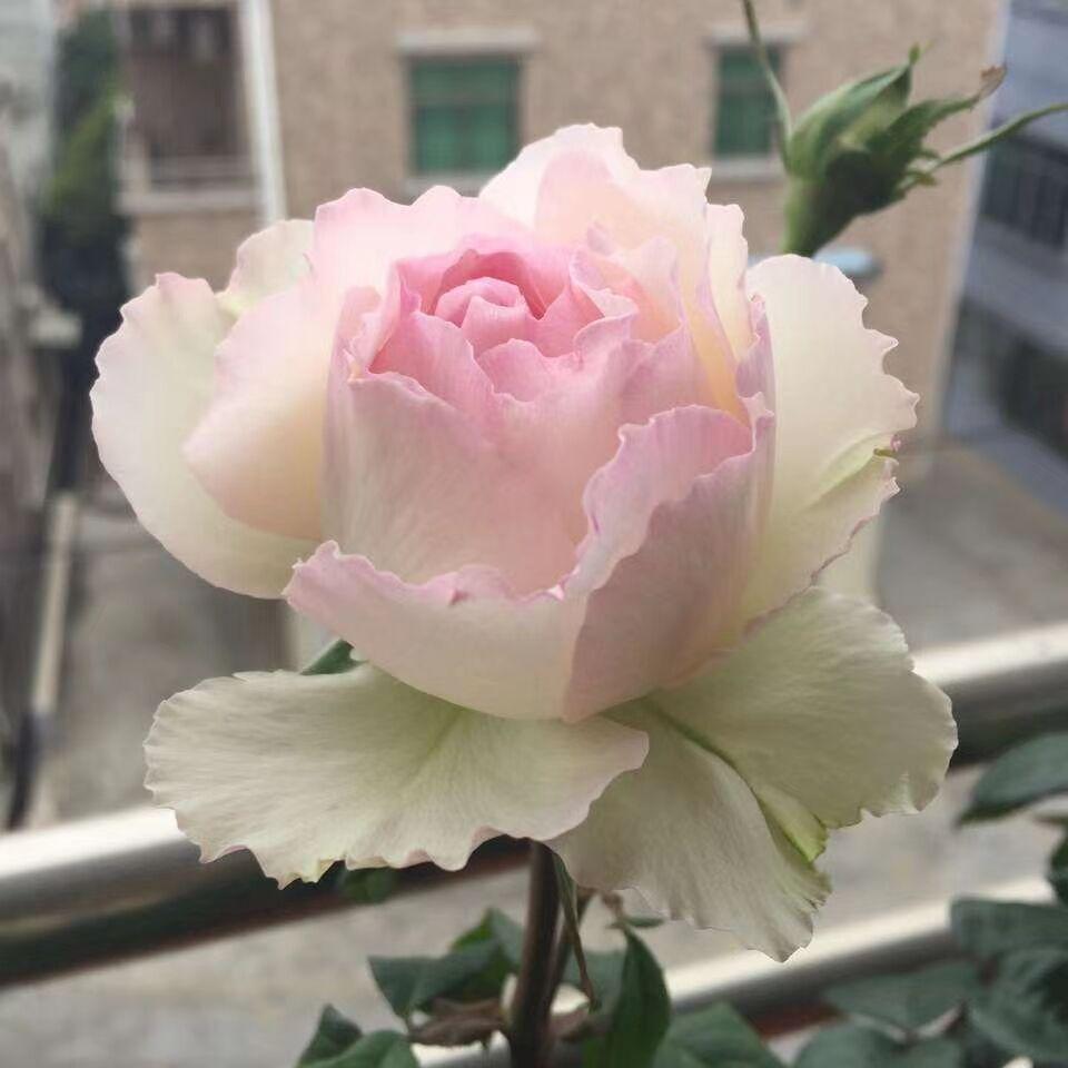 新品日月切花玫瑰佩尔朱v克月季多季大花水果花香花园盆栽花卉