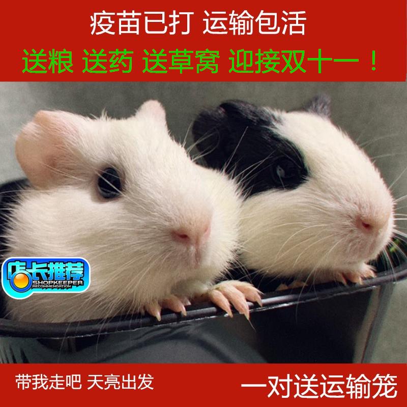 自家新款繁殖宠物荷兰猪一对三花送笼子送草窝 宝宝豚鼠活体