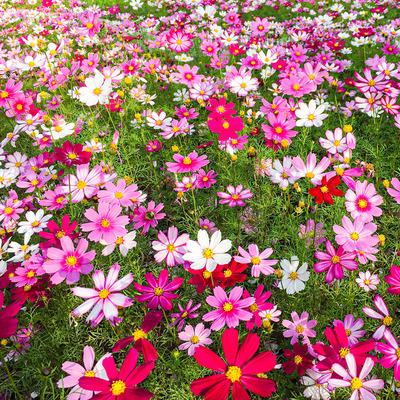 波斯菊花种子格桑花种籽子七彩花种四季开花易活花籽庭院室外种孑