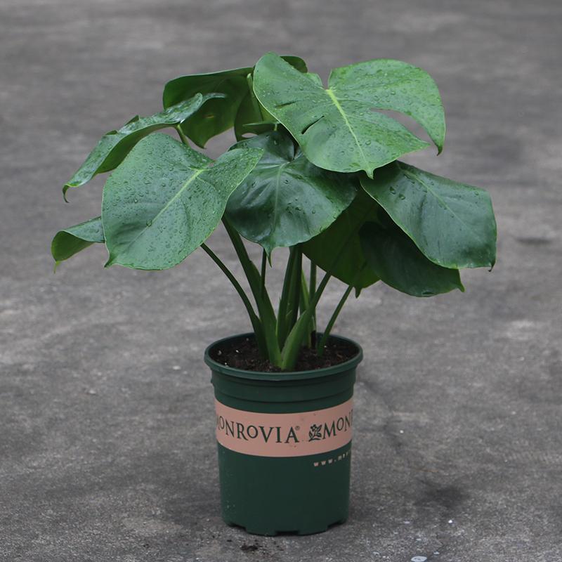 天天特价观叶植物 龟背竹水培水养 室内盆栽绿植 防辐射 去甲醛