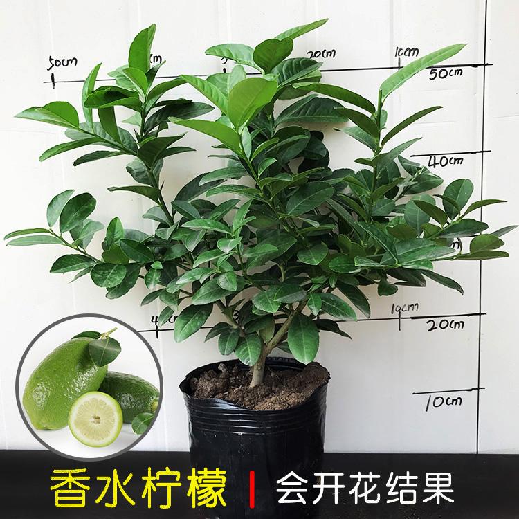 博荷盆栽薄荷何河植物薄荷盆栽(四季常青)柠檬香草猫可食用苗办