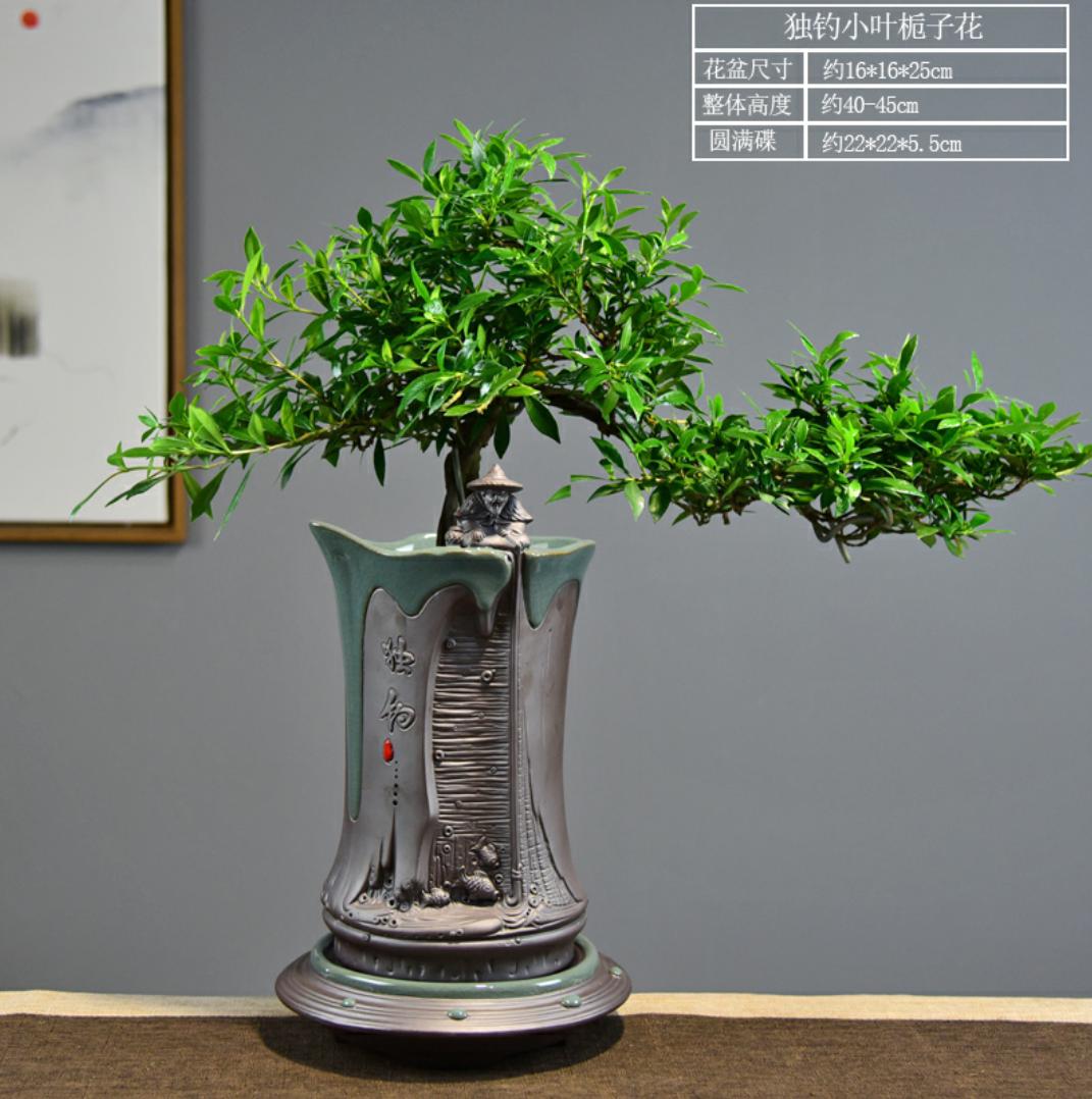 小叶栀子花盆栽老桩植物室内客厅办公室悬崖造型居家阳台绿植盆景图片