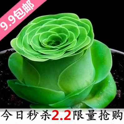 多肉植物耶罗玫瑰 山地超萌多肉肉嘟嘟组合花卉绿植盆栽新款包邮