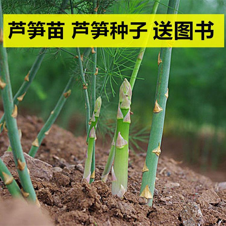 Asparagus seedling asparagus seed solitary green purple asparagus seed seedling four seasons vegetable seed Yangtai pot Root Seedling