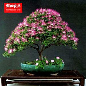 30粒花树盆景种子 四季鲜花籽园艺植物树形盆栽合欢樱花腊梅种籽