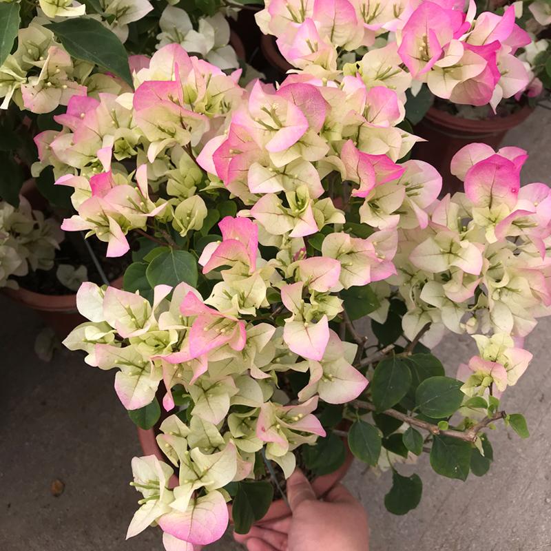 巴西三角梅盆栽云南紫重瓣爬藤四季带花苞发货漳州花卉市场老桩苗
