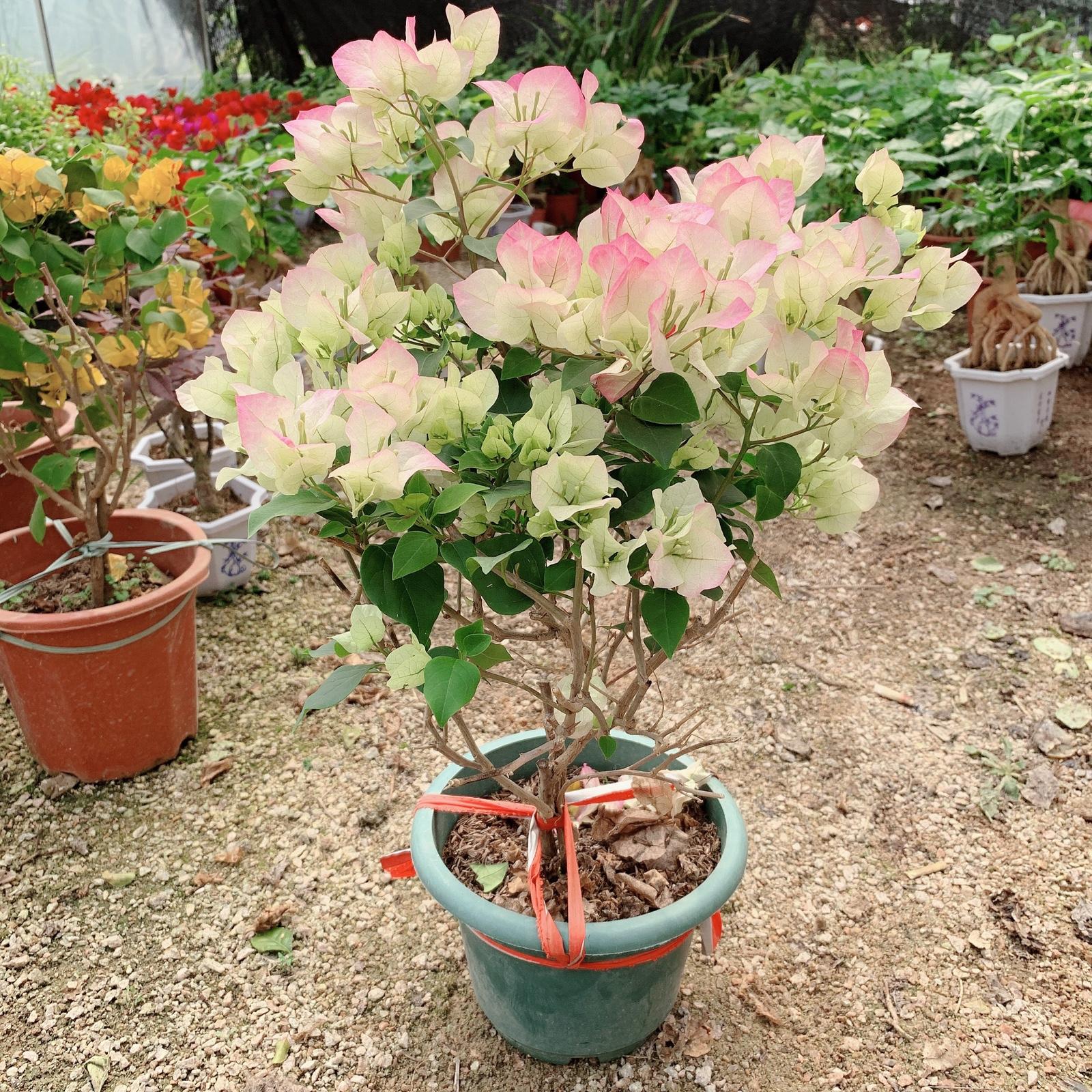 三角梅带花室内外盆栽老桩防辐射四季开花爬藤植物花绿樱花卉植物
