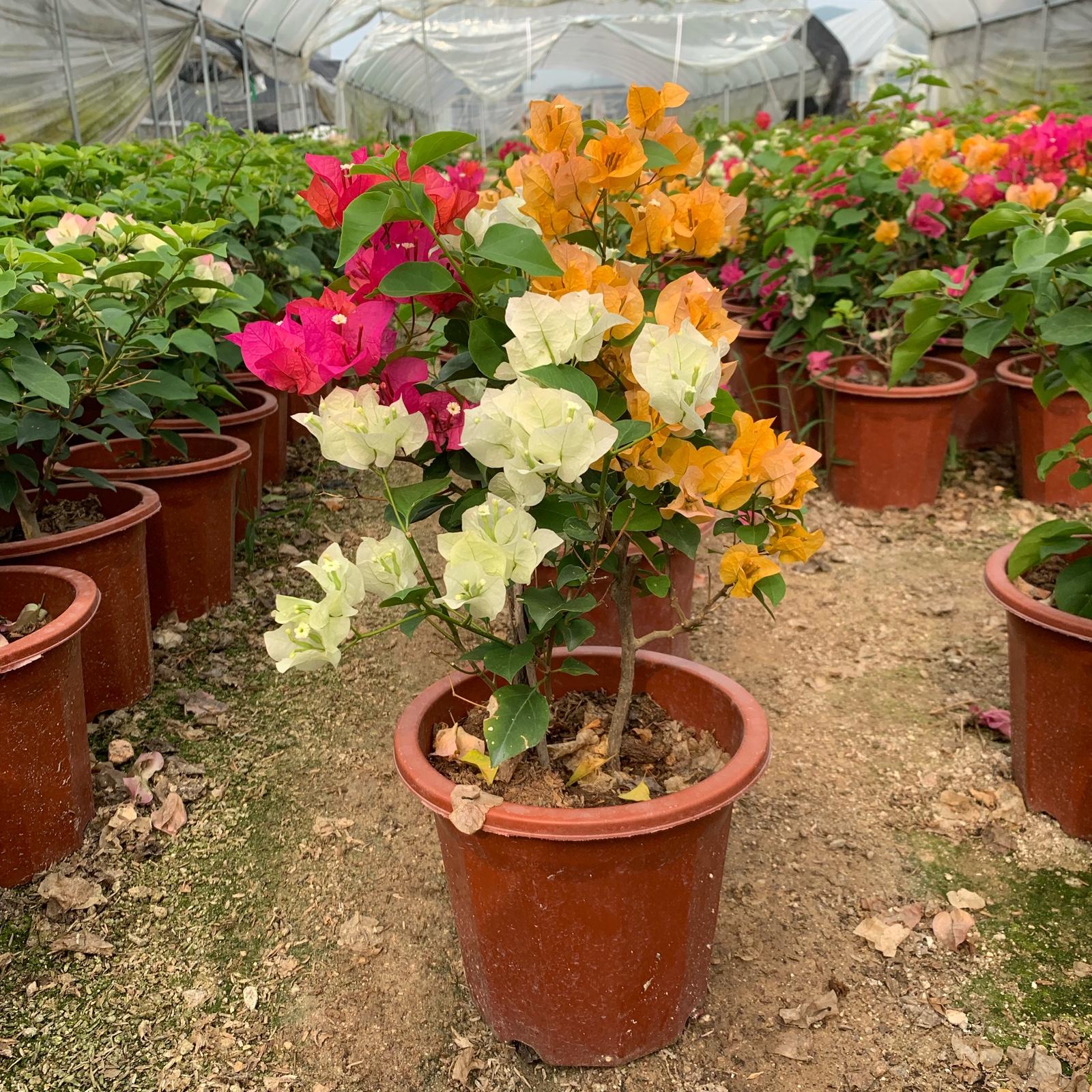 多色三角梅四季开花卉盆栽爬藤植物阳台庭院老桩多色重瓣带花发货