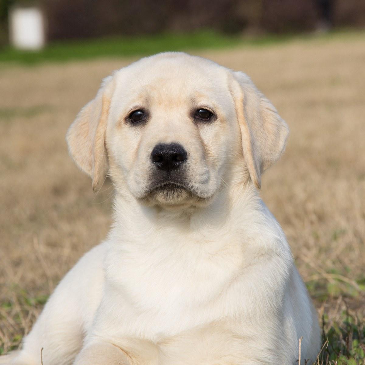 純血種の短い毛のラブラドールの子供の生きている体の神の犬の小さい7黒色の盲導犬のペットの犬を売ります