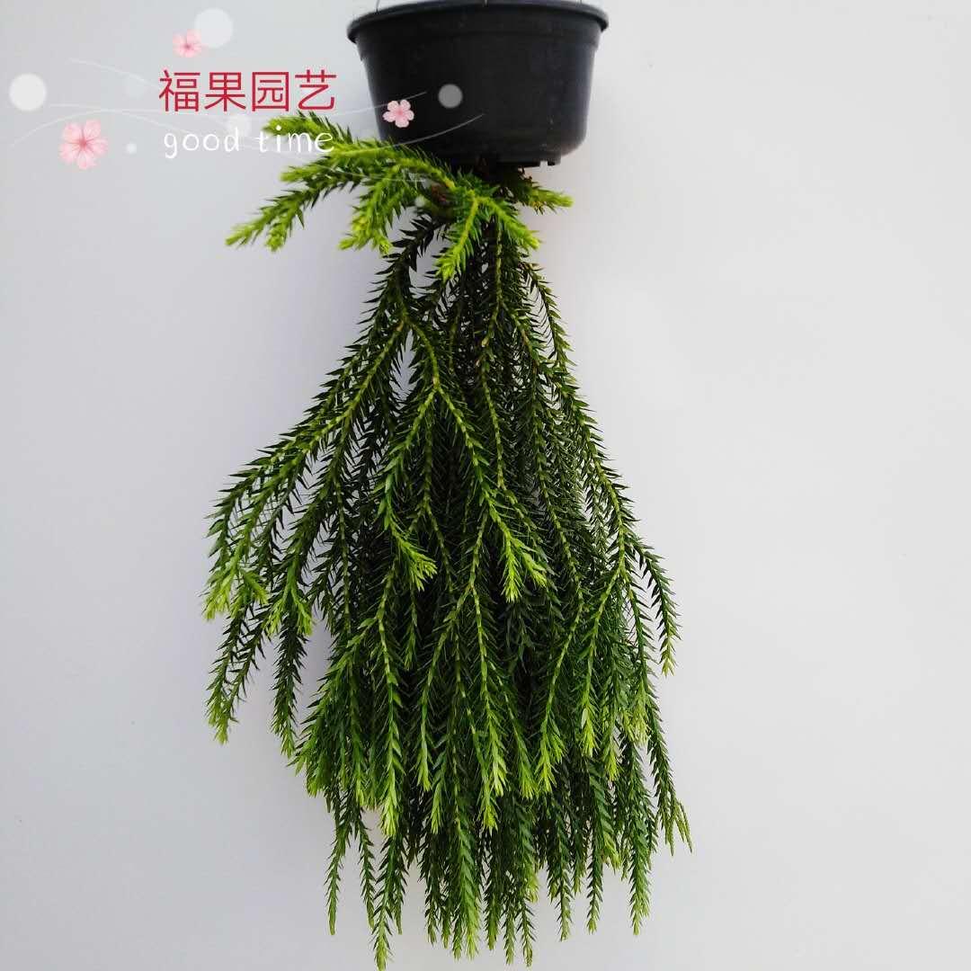 福果园艺蕨类植物泰国进口石松 雨林缸造景室内阳台吊挂植物