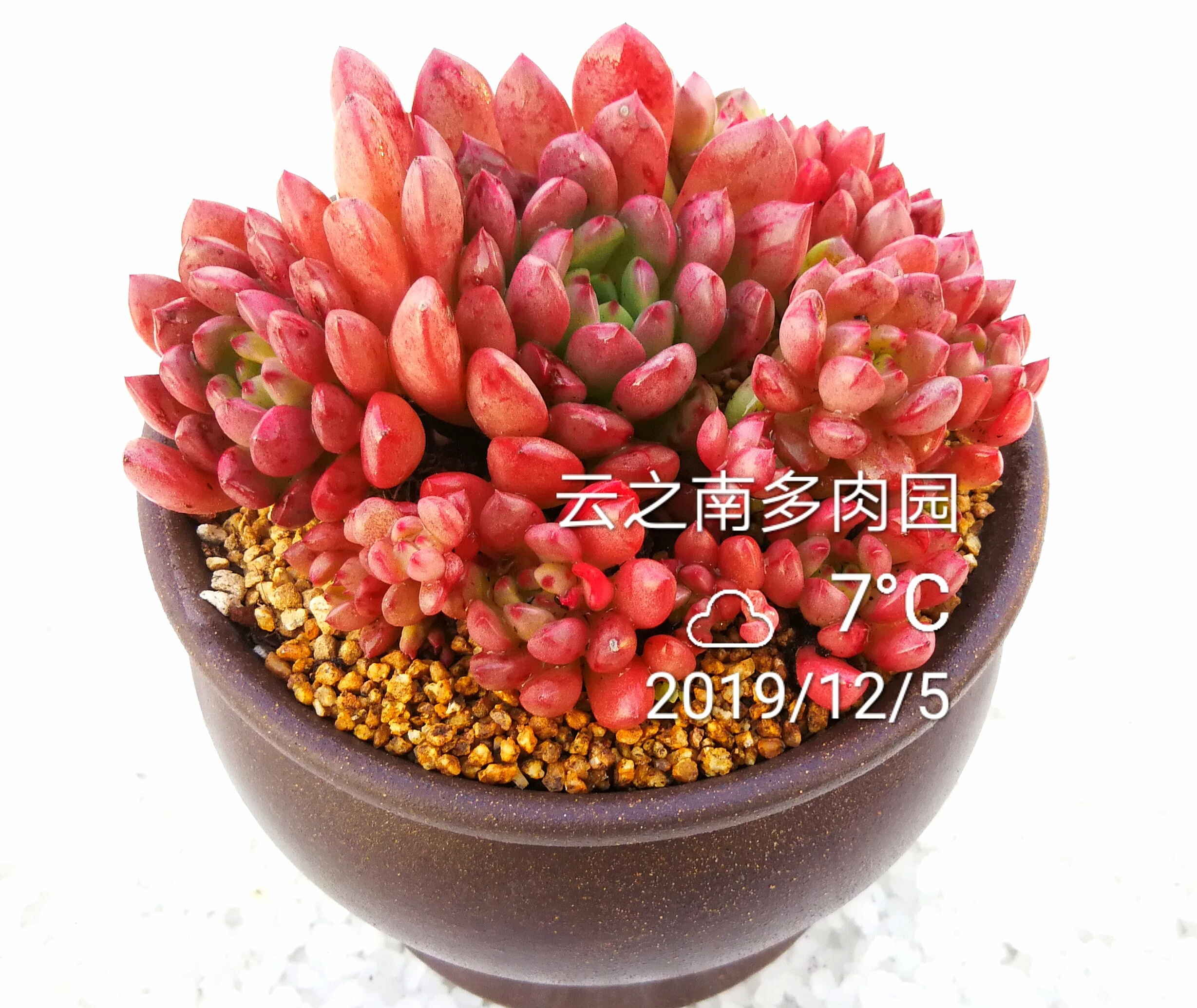 Ruby succulent plant group small old pile red beautiful winter sale yunzhinan meat Garden