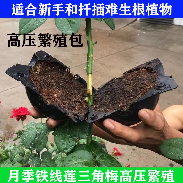 高压法繁殖月季绣球铁线莲三角梅栀子花茉莉花茶花扦插植物高压包