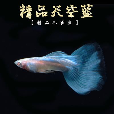 孔雀鱼 孔雀鱼活体天空兰观赏鱼 天空蓝日本孔雀鱼观赏鱼包邮 活