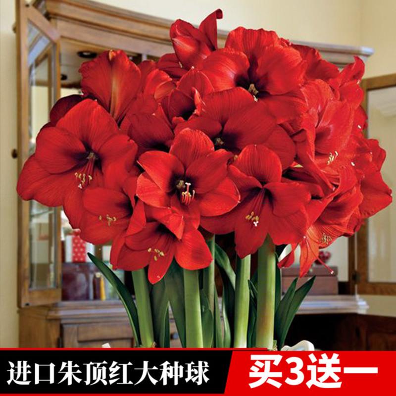 Цветочные луковицы Артикул 620266727507