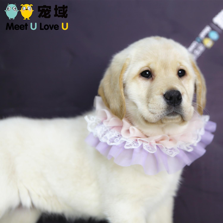 纯种奶白色拉布拉多犬幼犬拉不拉多狗狗活体宠物狗狗重庆实体店
