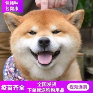 日本进口柴犬幼犬纯种豆柴宠物狗活体公母黑白色赤柴赛级血统秋田
